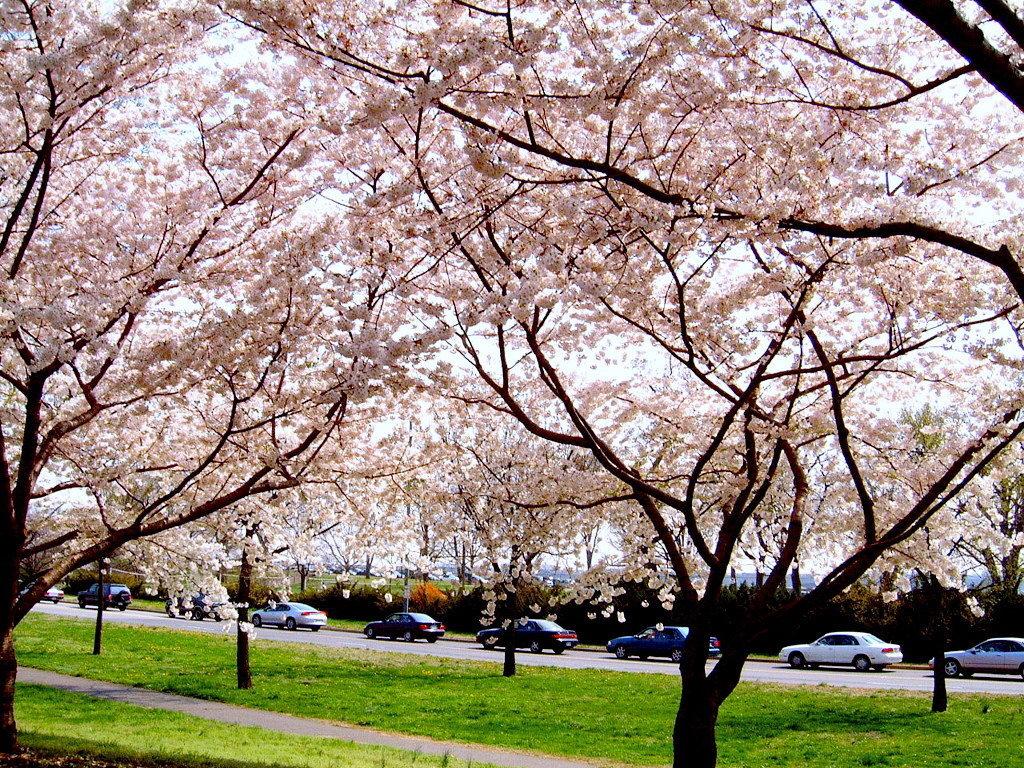 一般大樱花树干上长出许多枝条时
